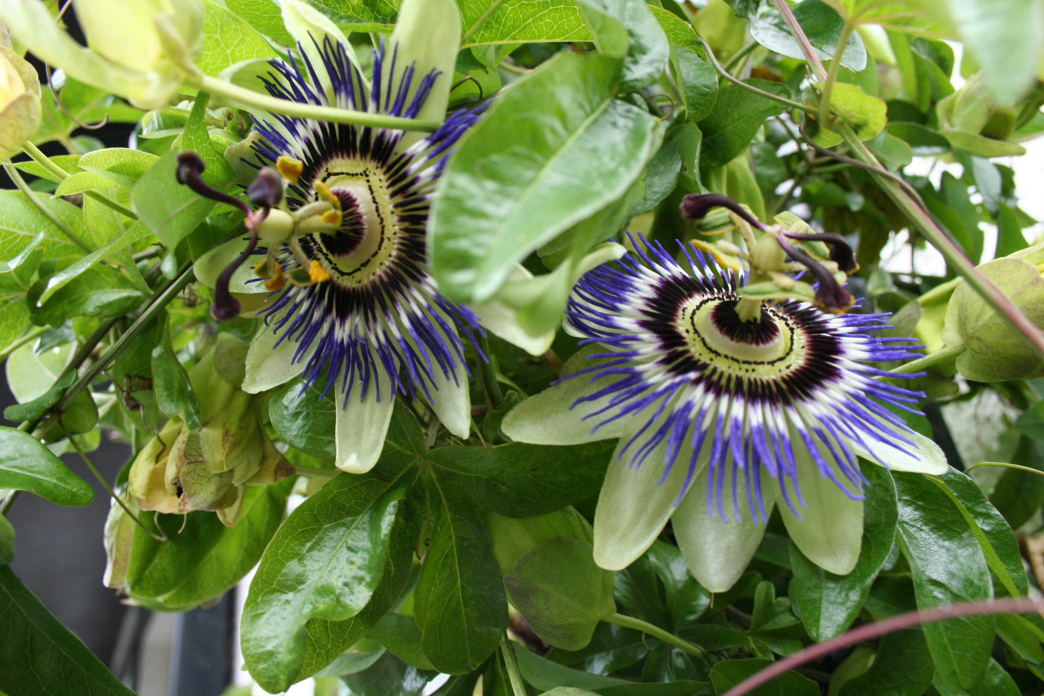 File Passion flower blooms JPG