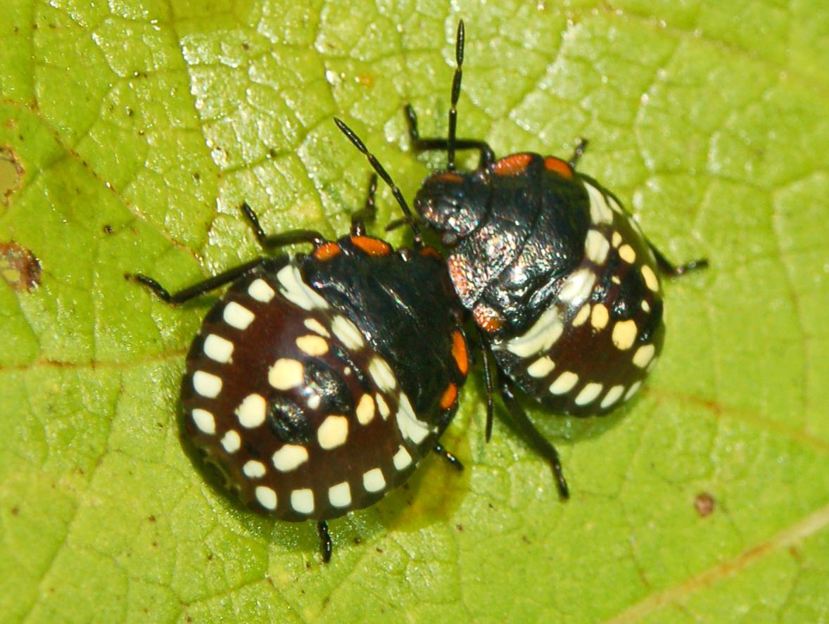 Pentatomidae_-_Nezara_viridula-003.JPG