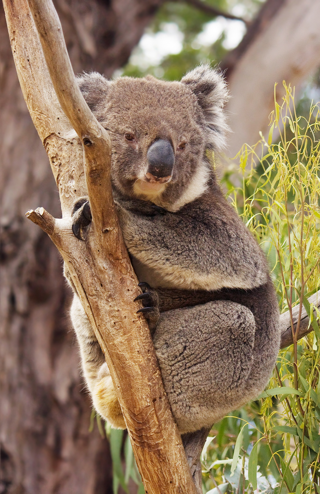 koala koala resting in tree between branch and stem