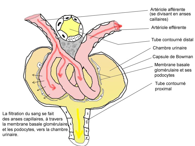 Corpúsculo renal - Wikipedia, la enciclopedia libre