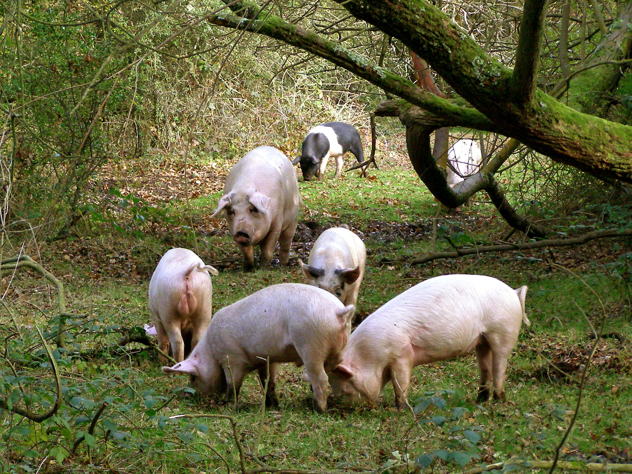 File Pigs In The New Forest At Brockenhurst Hampshire