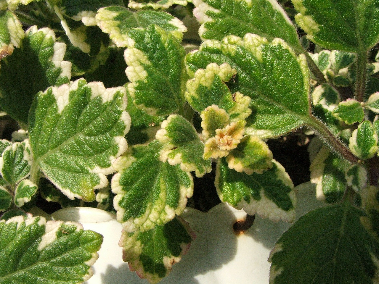 File plectranthus coleoides a1 jpg wikimedia commons - Planta china del dinero ...