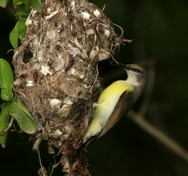 Birds Sunbird: Purple-rumped Sunbird
