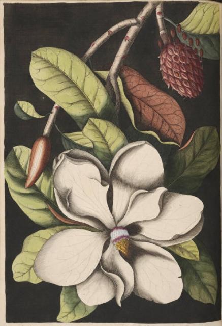 FileSouthern Magnolia Tree Drawingjpg  Wikimedia Commons