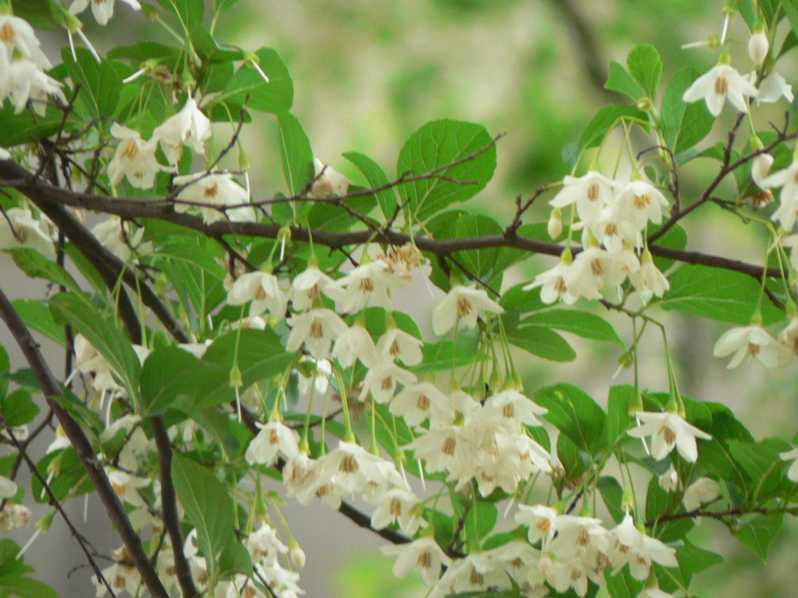 http://upload.wikimedia.org/wikipedia/commons/7/79/Styrax_japonica1.JPG