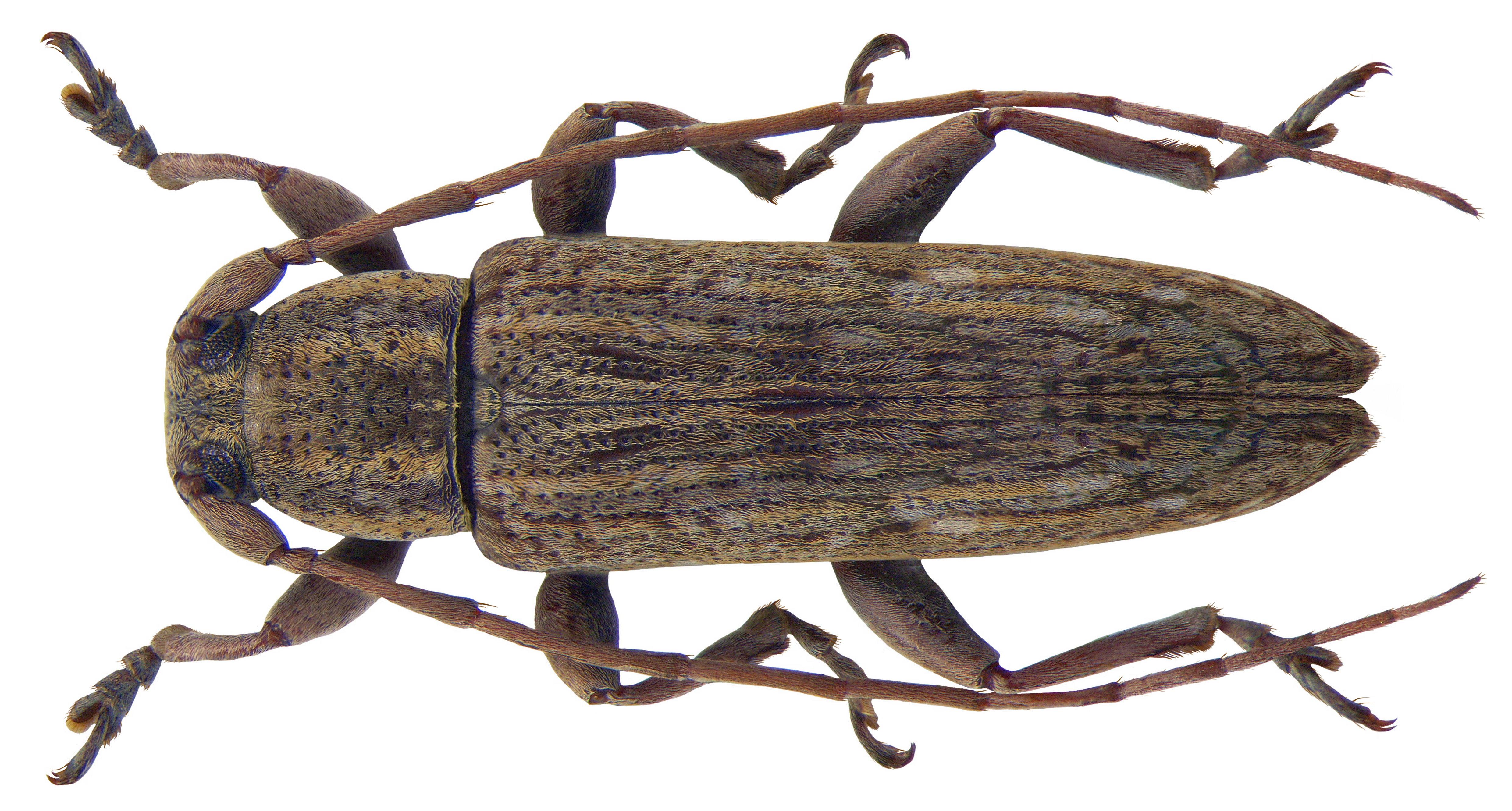 File sybra alternans wiedemann 1825 male 3843556910 for 1825 2