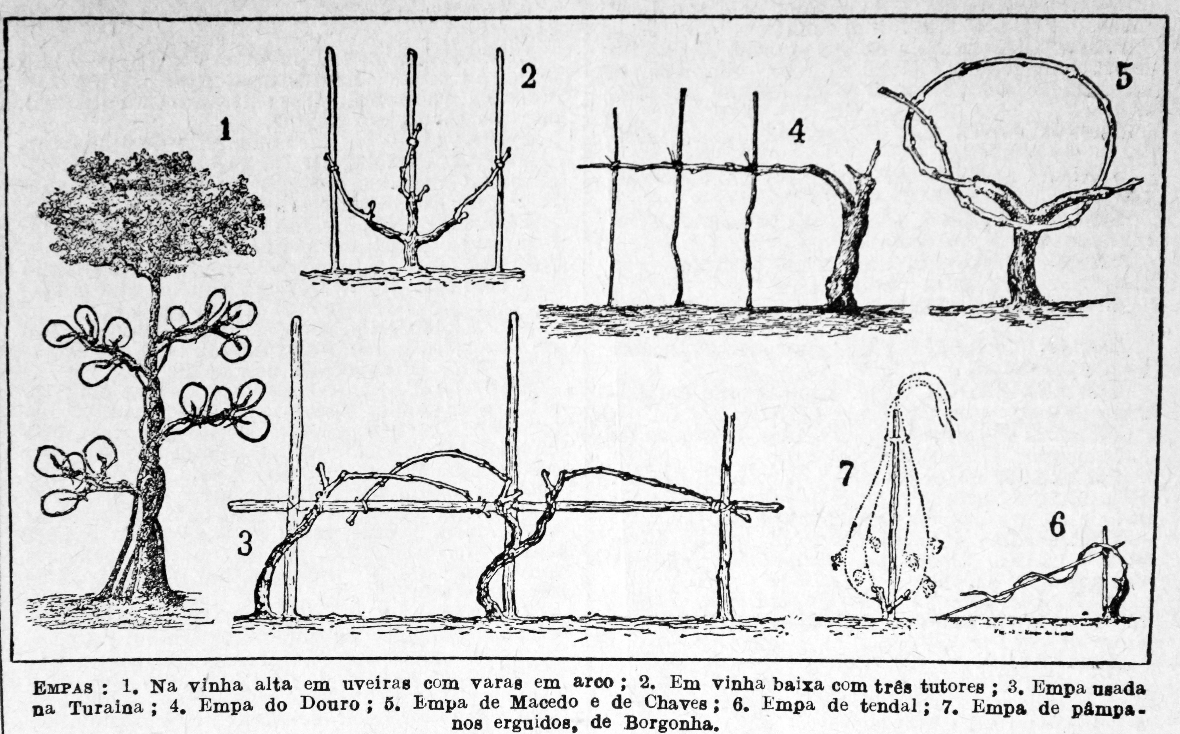 File taille vignes wikimedia commons - Tailler la vigne raisin de table ...