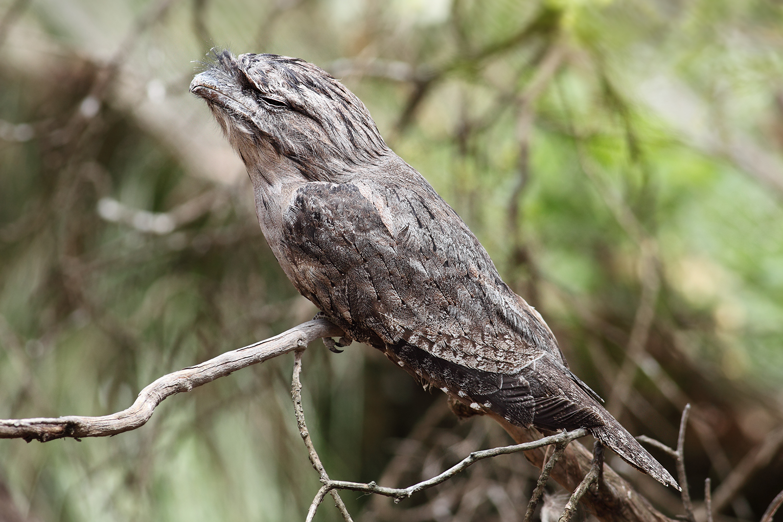 Image Result For Owl And Tree