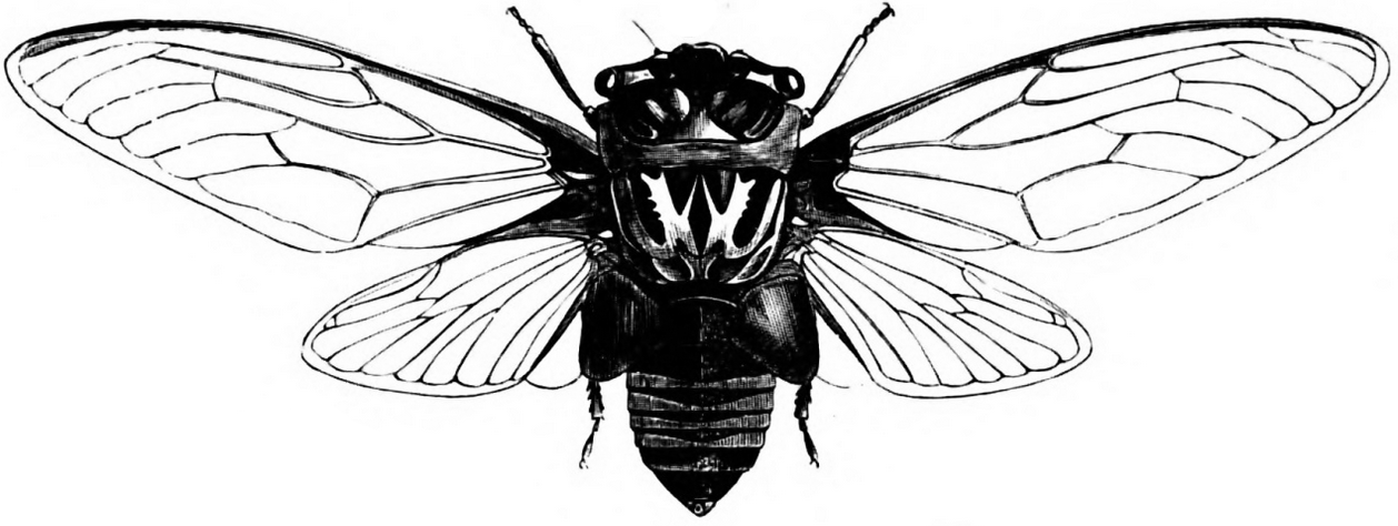 Insect Scientific Drawing