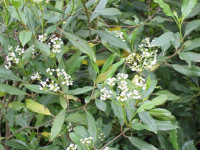 un arbre Martin le 1er Avril 2020 trouvé par Martine - Page 3 Viburnum_globosum2