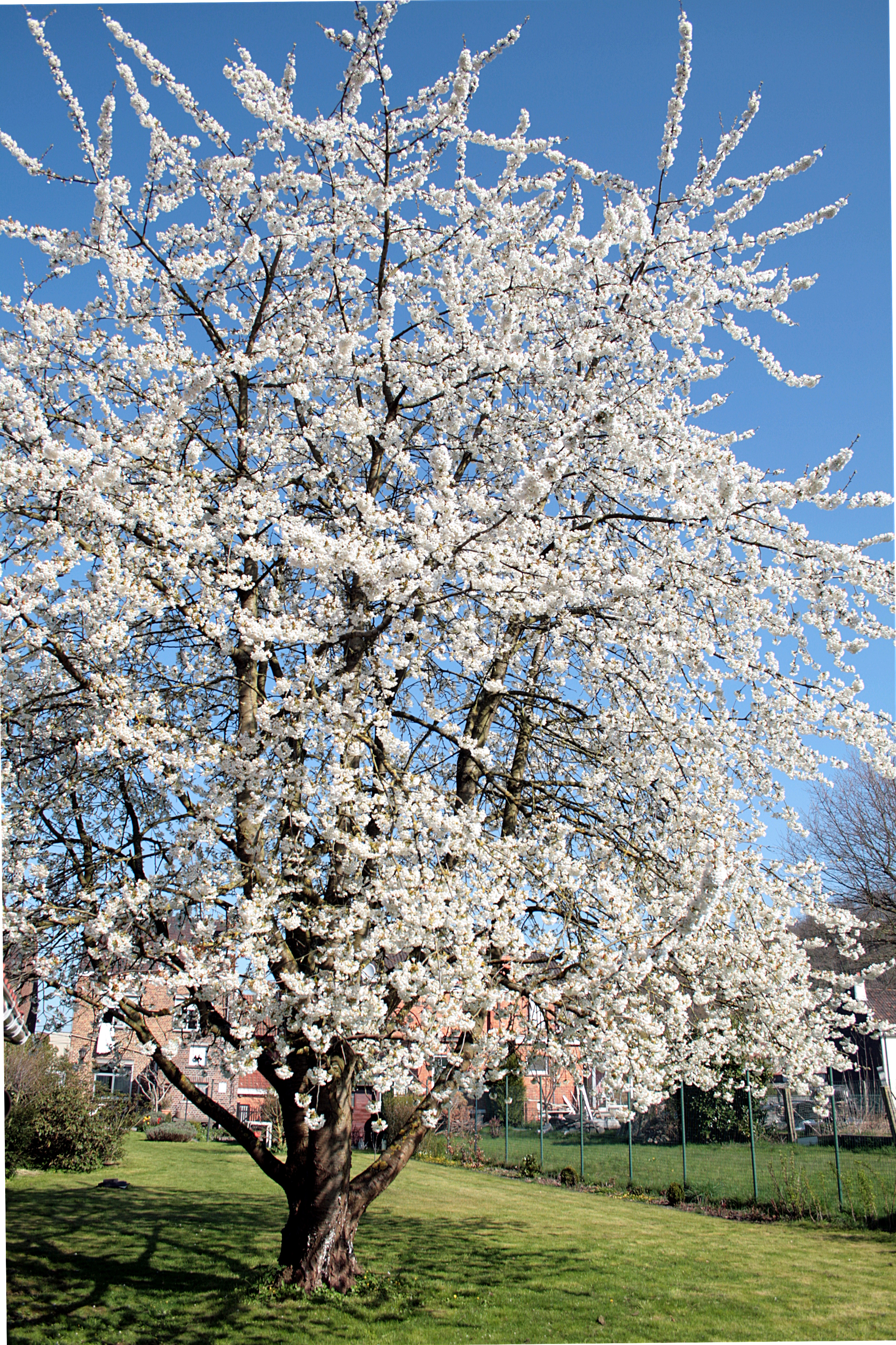 Prunus Avium Wikiwand