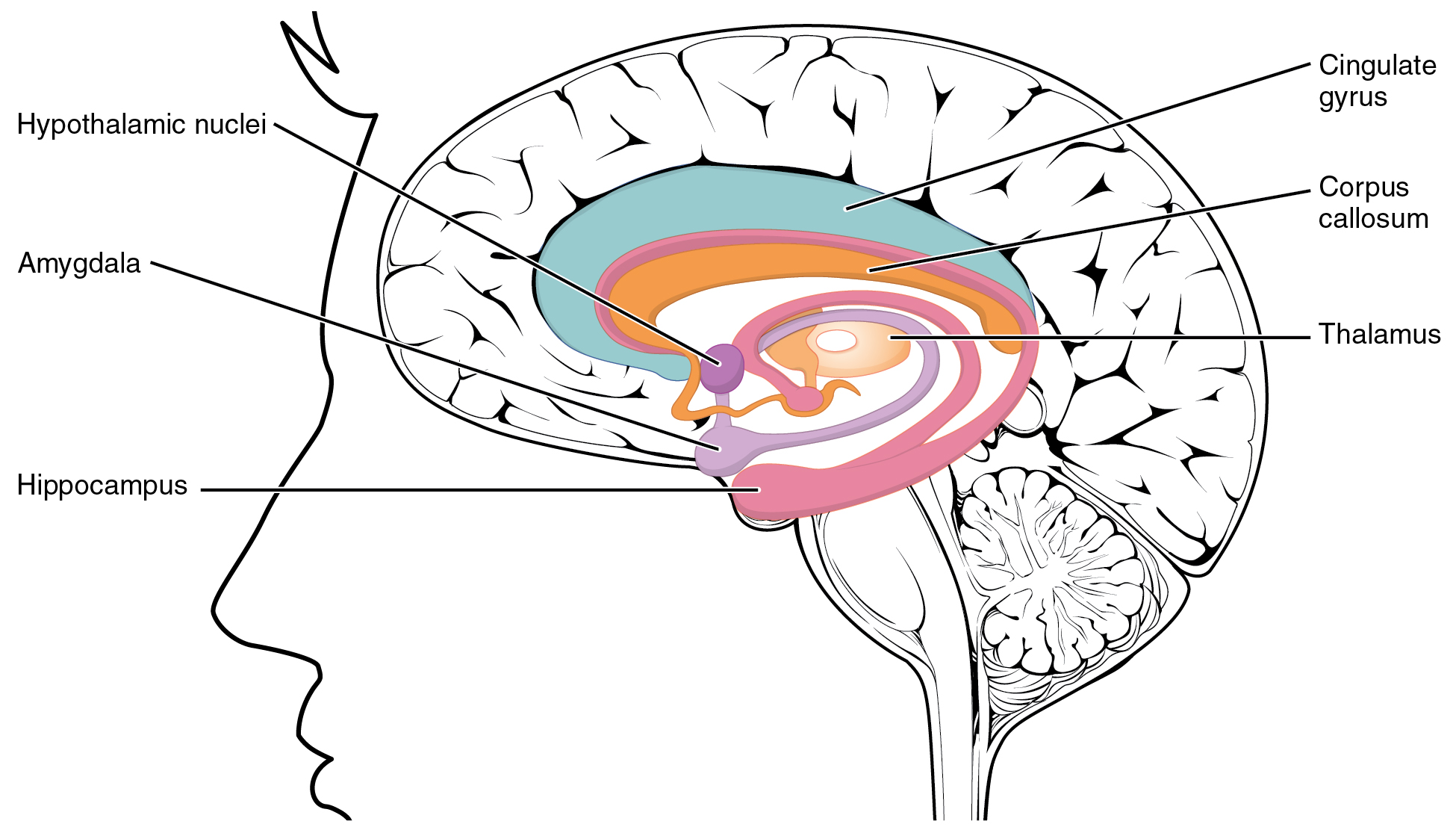 File:1511 The Limbic Lobe.jpg - Wikimedia Commons
