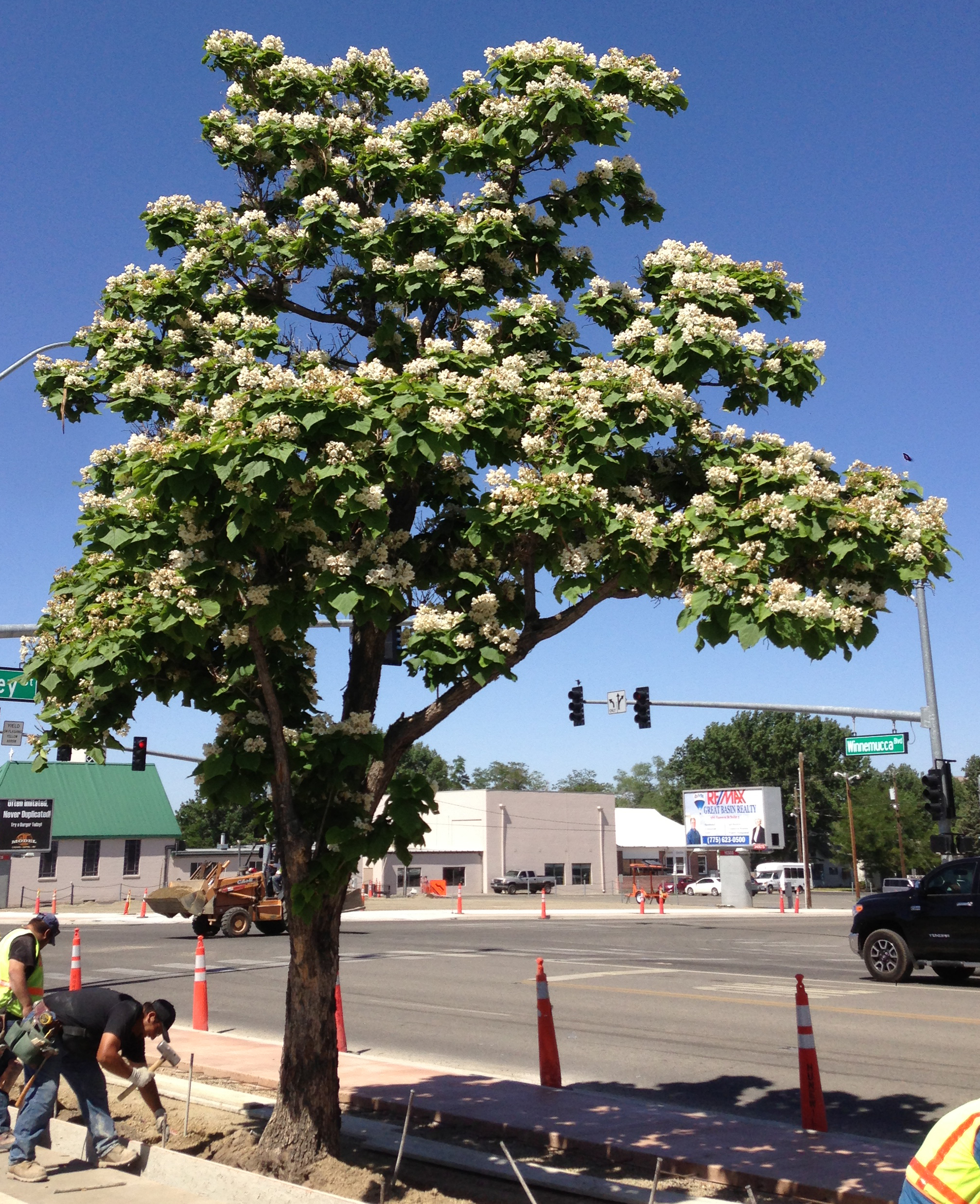 File 2014 06 12 10 43 09 Catalpa speciosa in flower along Nevada State Route
