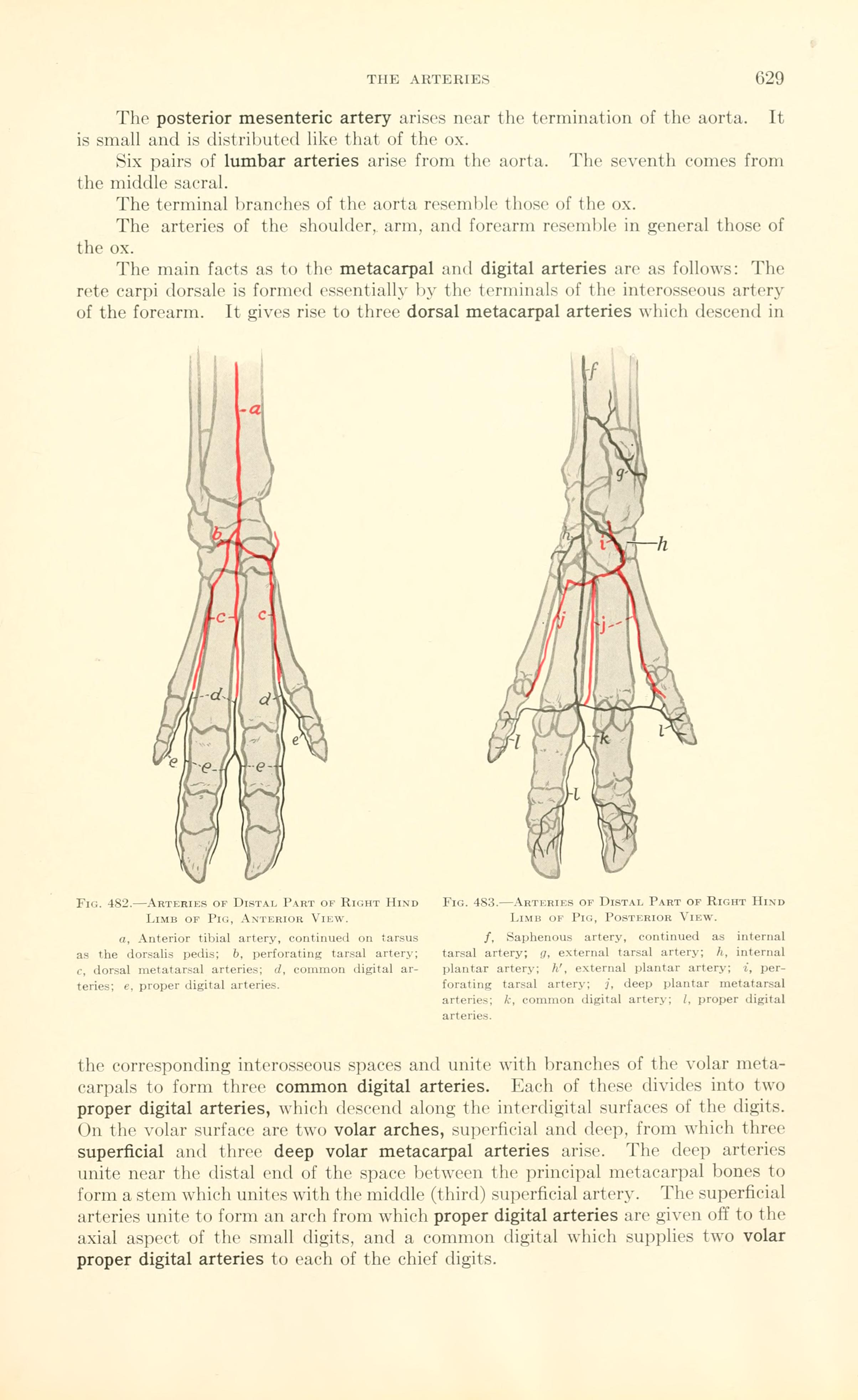 File:A text-book of veterinary anatomy (Page 629) BHL18587753.jpg ...