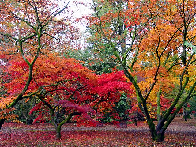 File Acer Glade Westonbirt Arboretum Geograph Org Uk