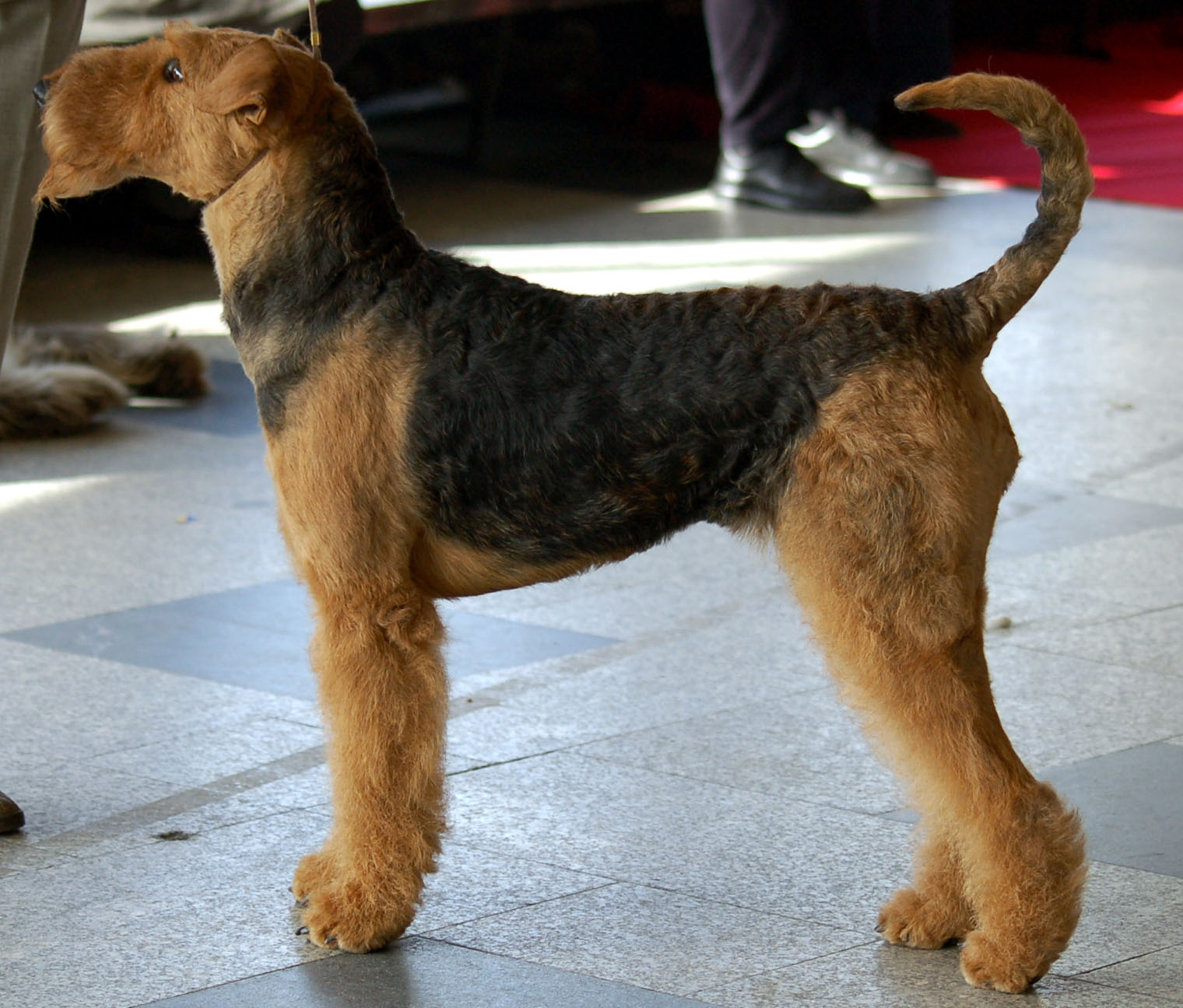 ultimate dog dog breeds airedale terrier