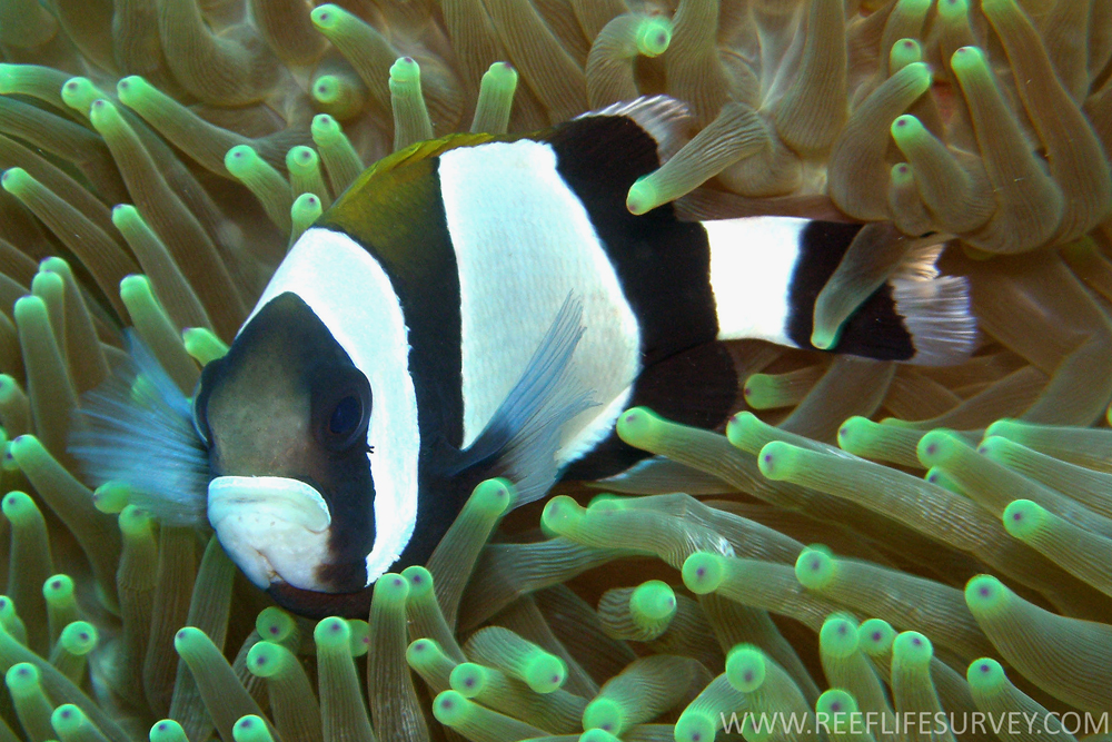 Amphiprion latezonatus, Norfolk.jpg