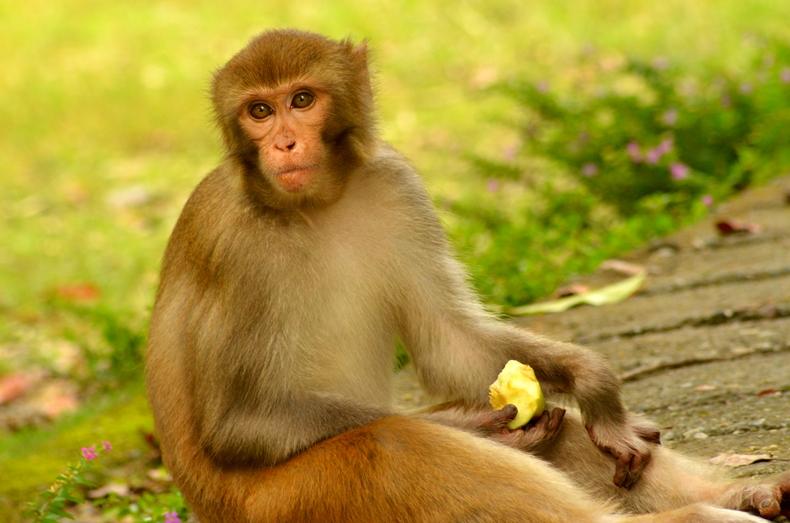 File:An Indian monkey (bandar) in Malsi Deer Park (photo - Jim Ankan  Deka).jpg - Wikimedia Commons