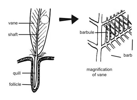 Anatomy and physiology of animals Contour feather.jpg