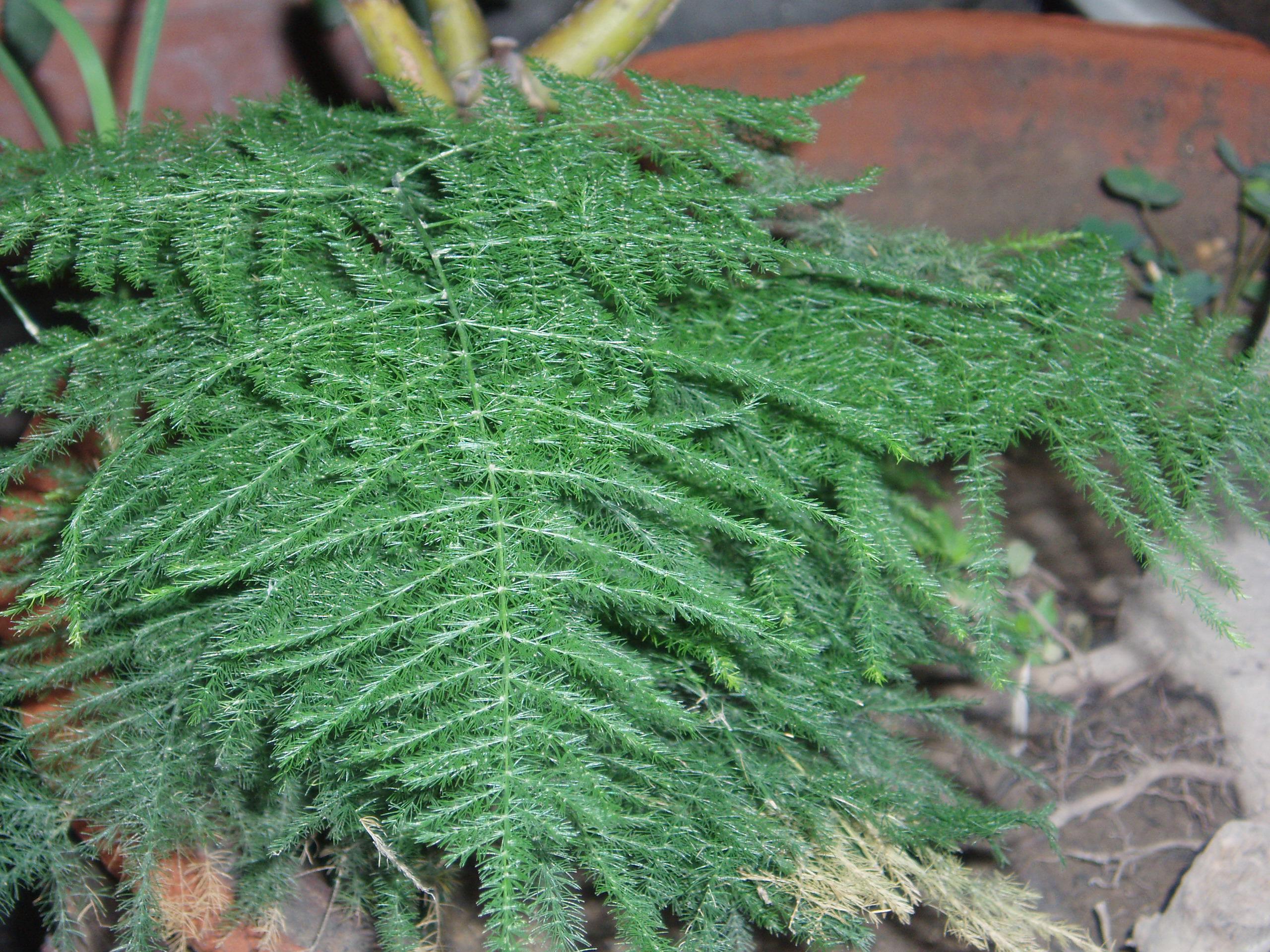 9d2773ea95 Características y cuidados del Helecho plumoso (Asparagus plumosos Baker)