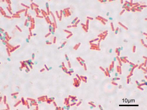 Sporulating Bacillus subtilis