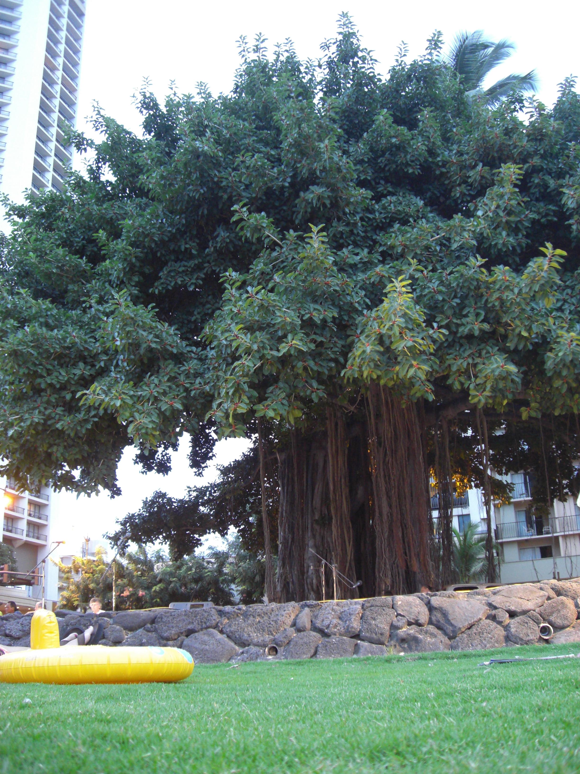 File Banyan Tree Waikiki Beach Oahu