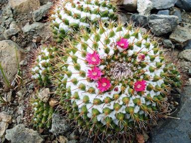 Resultado de imagen para cactus biznaga