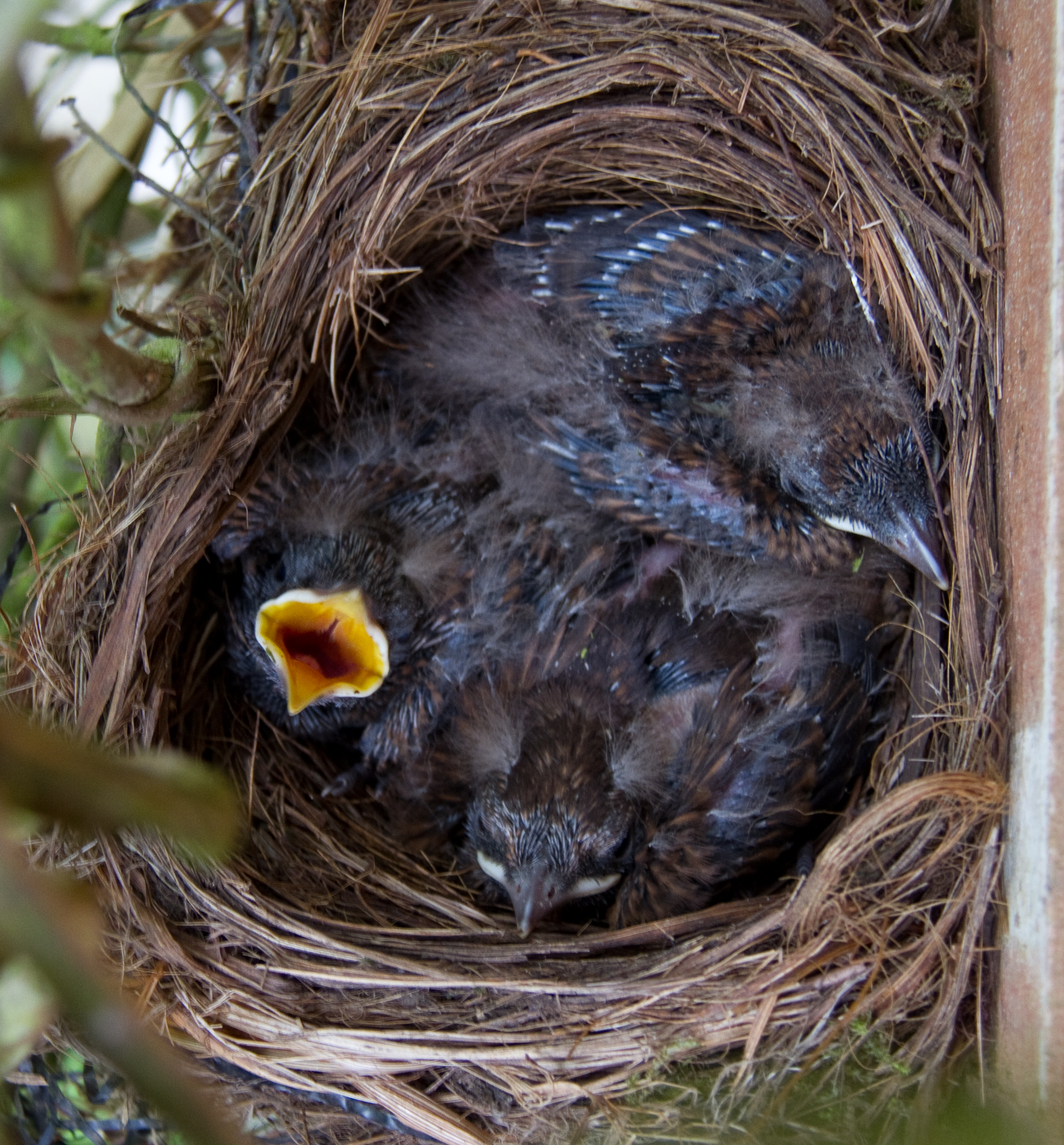 File Blackbird Nest 5880632151 Jpg Wikimedia Commons