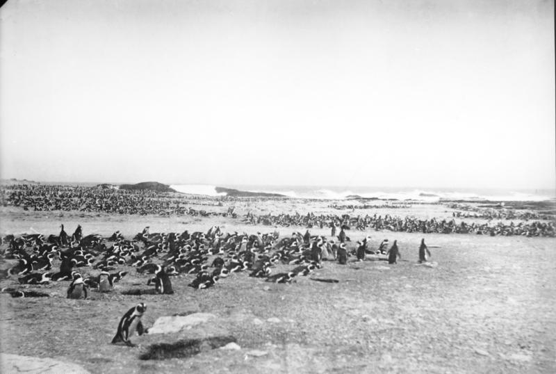 File:Bundesarchiv Bild 105-DSWA0004, Deutsch-Süd-Westafrika, Pinguine.jpg