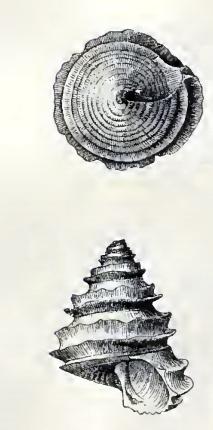 Calliostoma circumcinctum 001.jpg