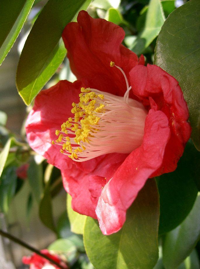 Camellia japonica3.jpg