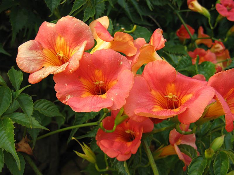 http://upload.wikimedia.org/wikipedia/commons/7/7a/CampsisGrandiflora.jpg