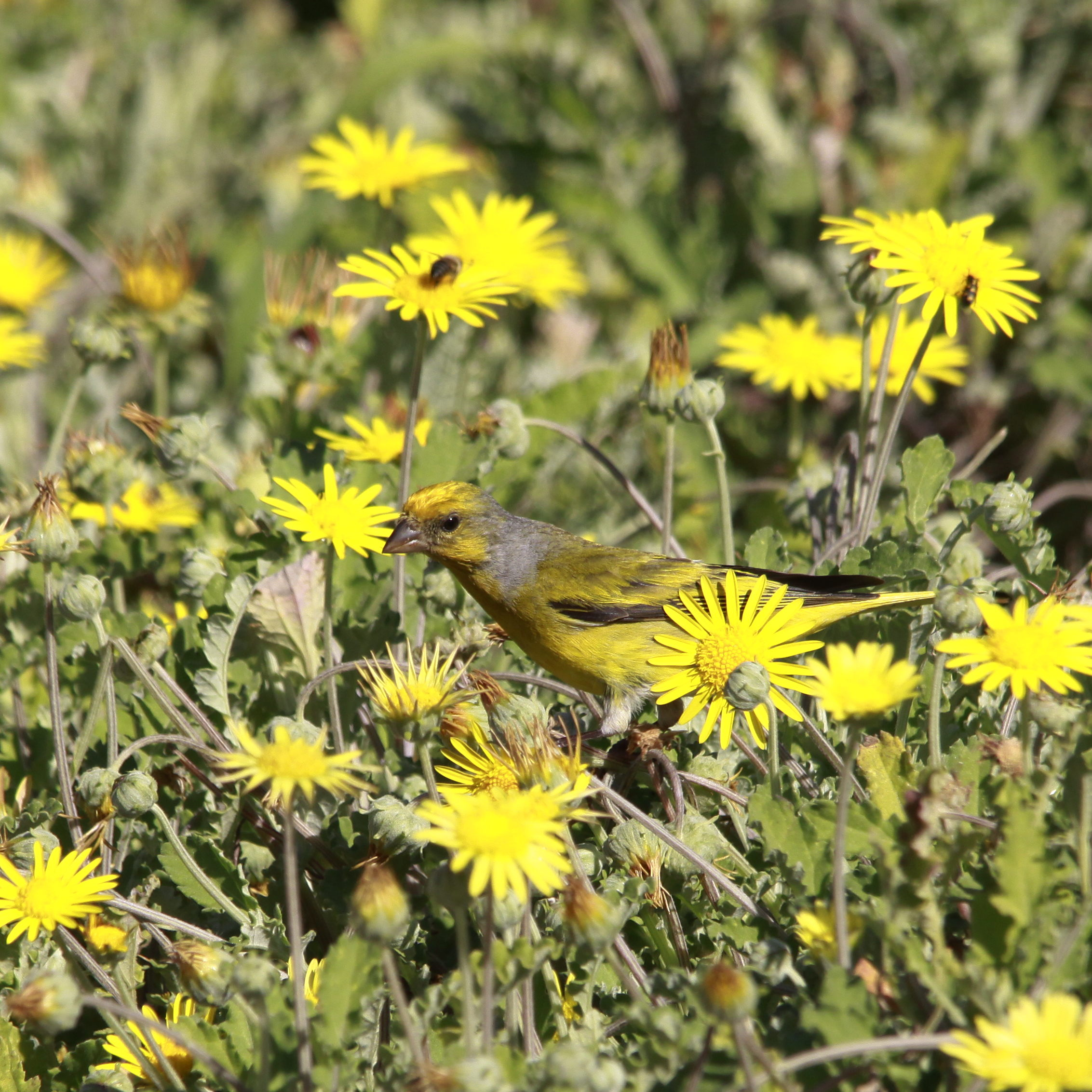 Filecape canary in the yellow flowers 37161617203g wikimedia filecape canary in the yellow flowers 37161617203g mightylinksfo