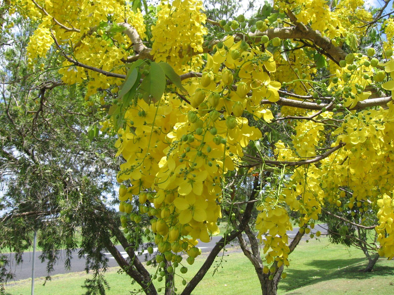 Cassia_fistula flowering trees of india