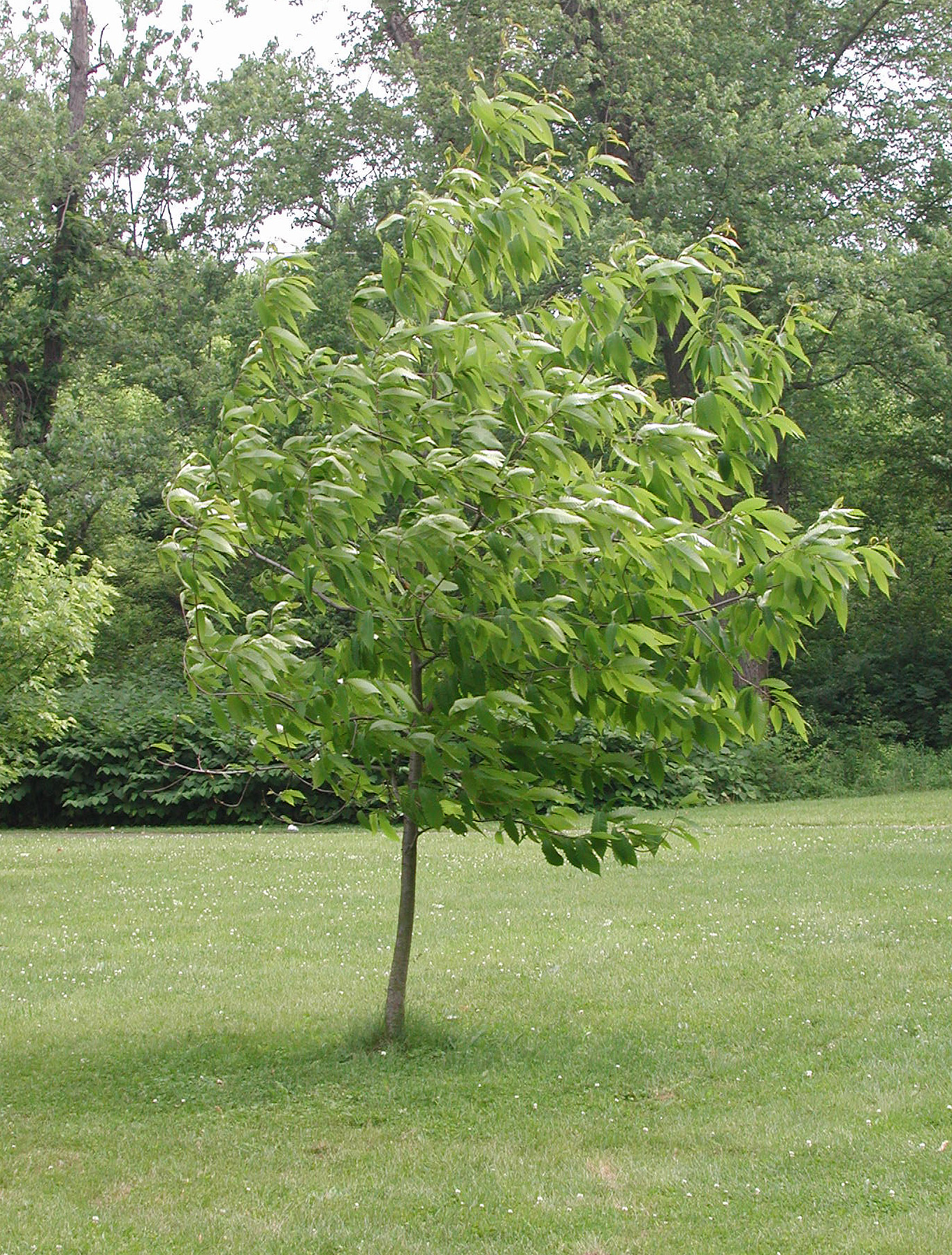 Restoration Of The American Chestnut Tree 187 Wadleigh