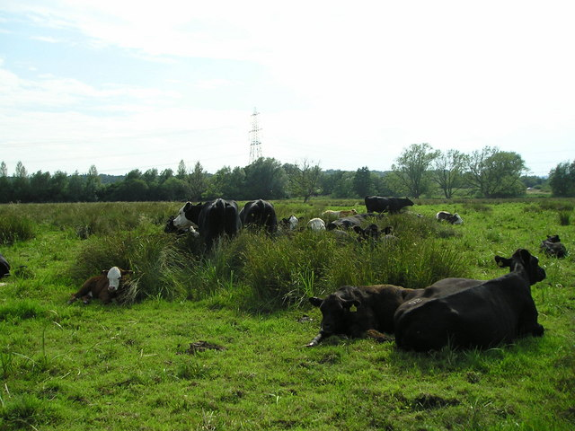 Cattle on Iffley Meadows - geograph.org.uk - 1381258
