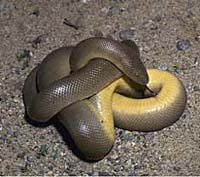 Adult rubber boa