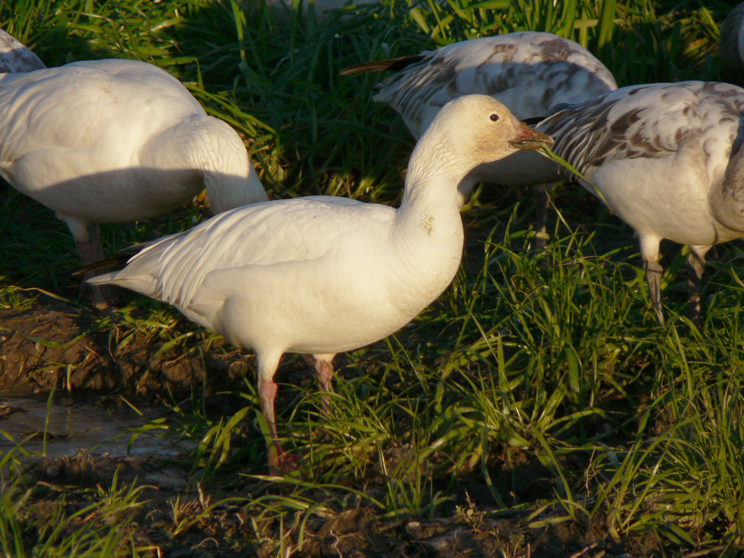 Snow geese, Wikipedia