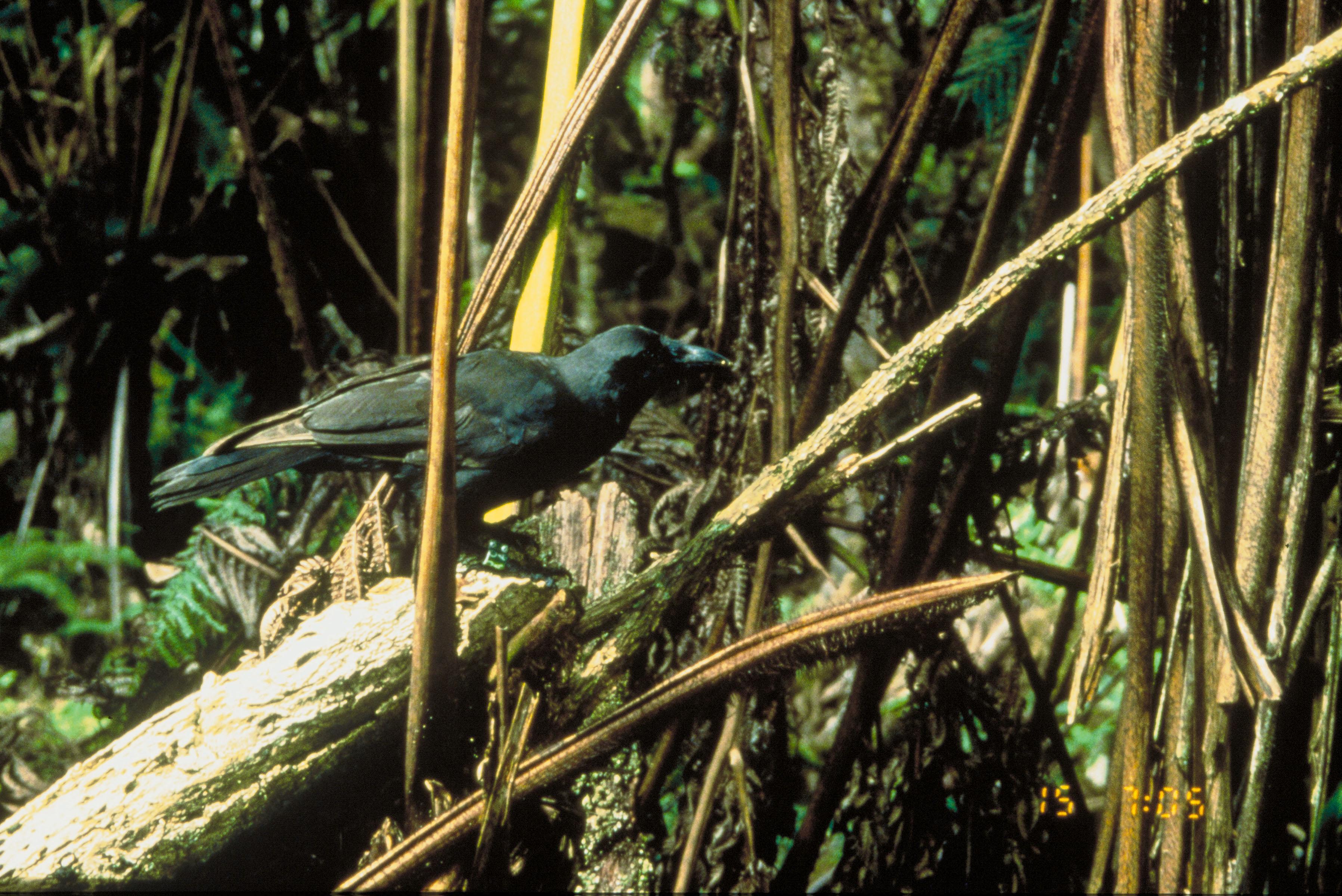 Pokã©mon Type Chart: Hawaiian crow - Wikipedia,Chart