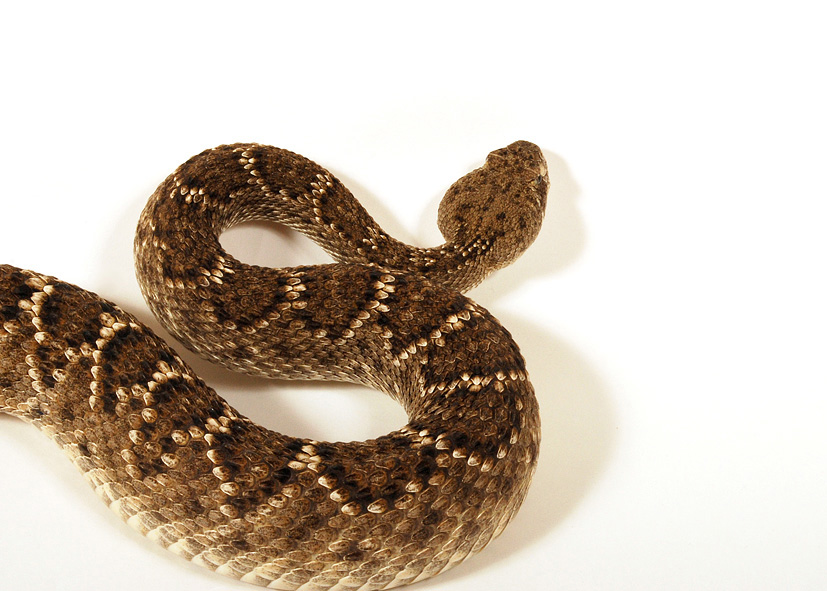 Crotal Diamantin file:crotalus atrox crotale diamantin ouest 47 - wikimedia commons