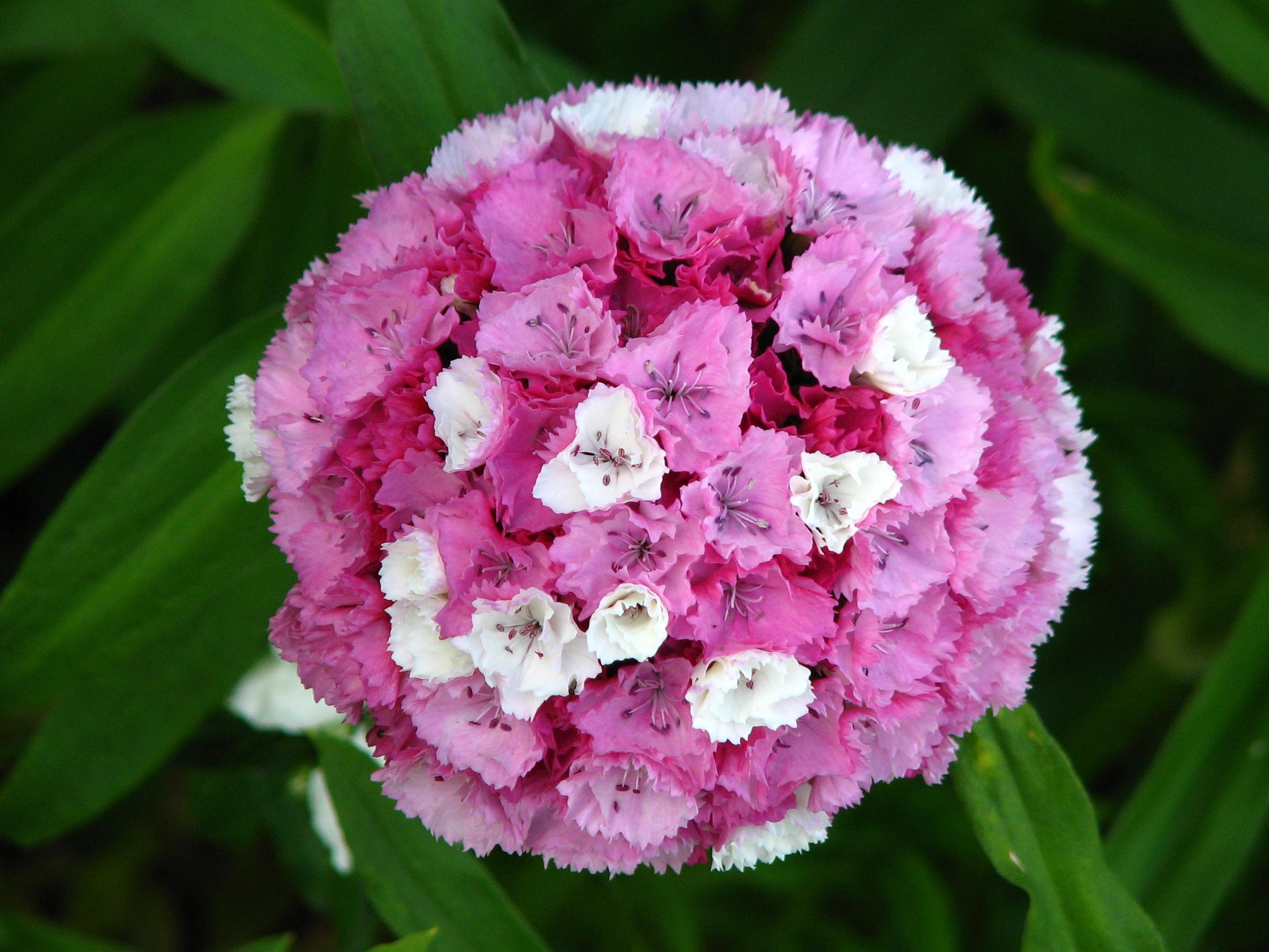 File:Dianthus barbatus...
