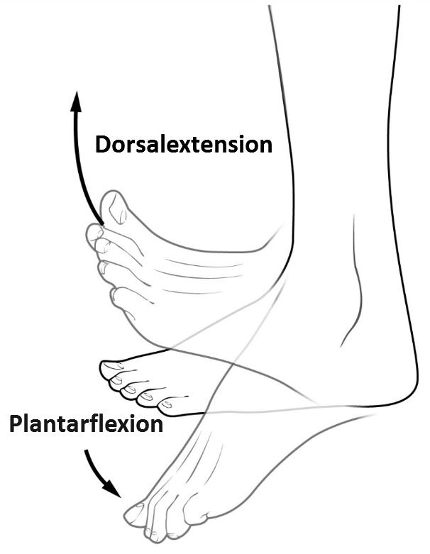 Plantarflexion – Wikipedia