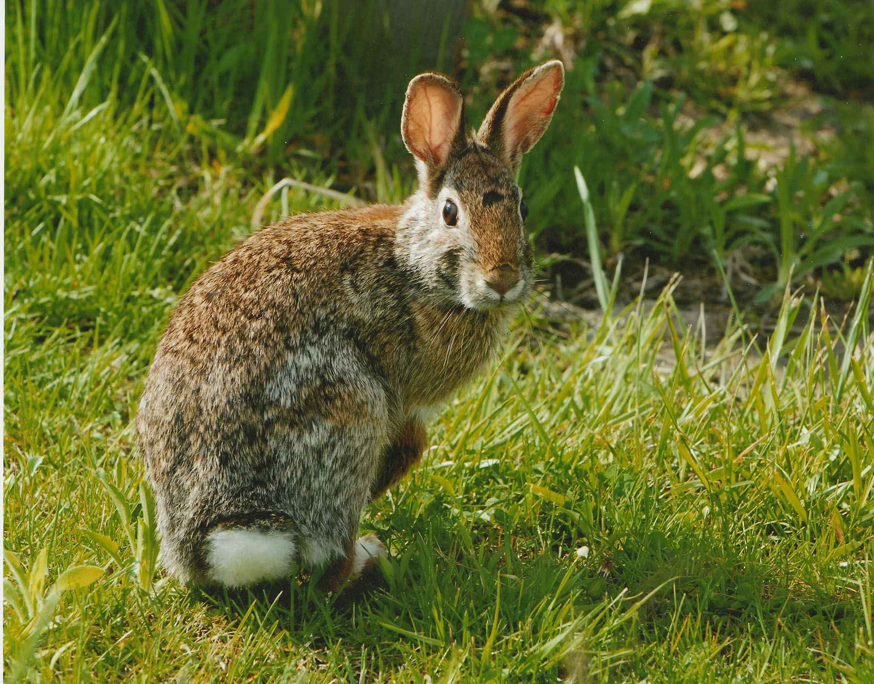 Fileeastern Cottonail Rabbit Close Up Sylvilagus Florid Jpg