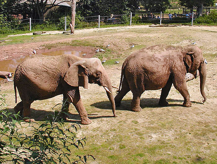 File:Elephant.pair.750pix.jpg