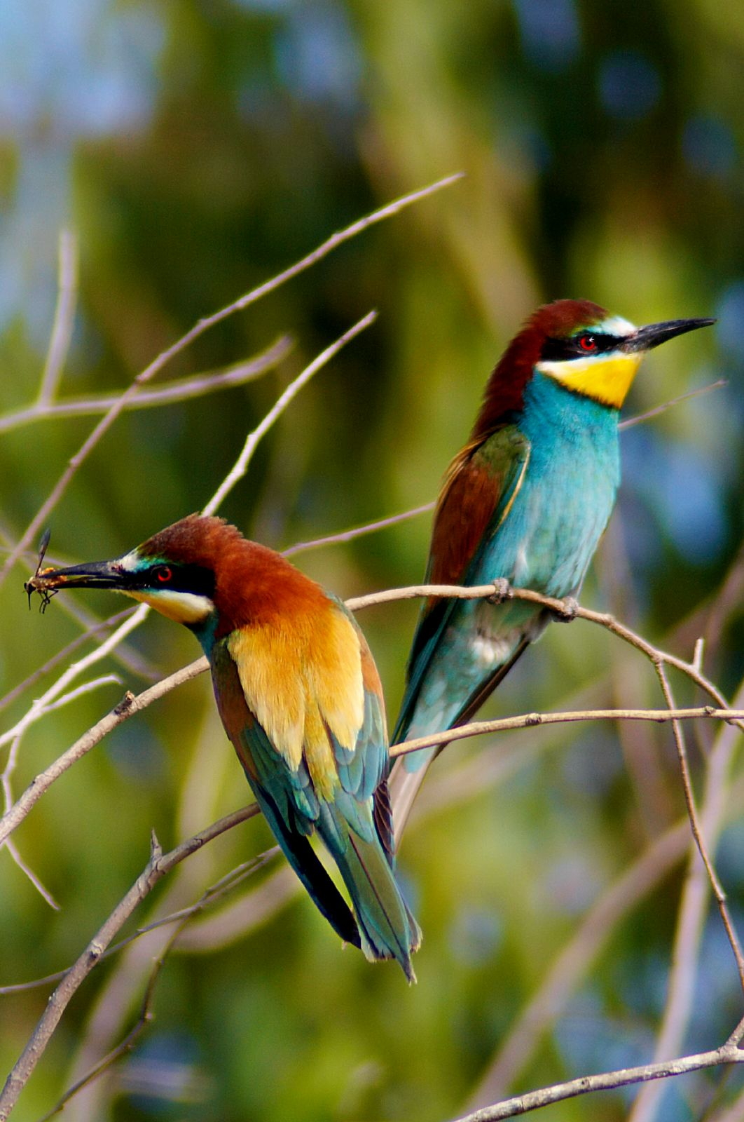 European bee eater size - photo#20