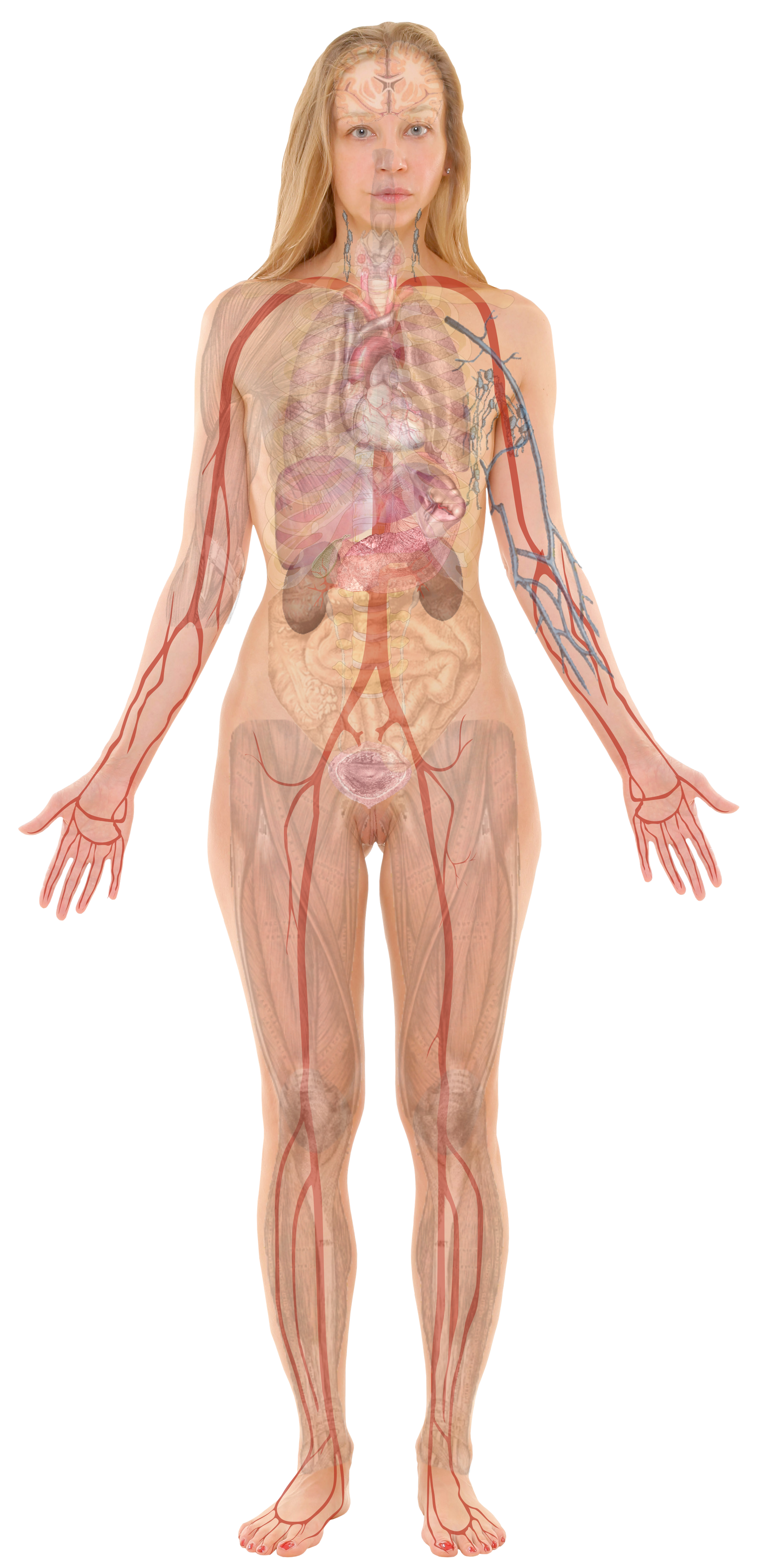 File:Female with organs.png - Wikimedia Commons
