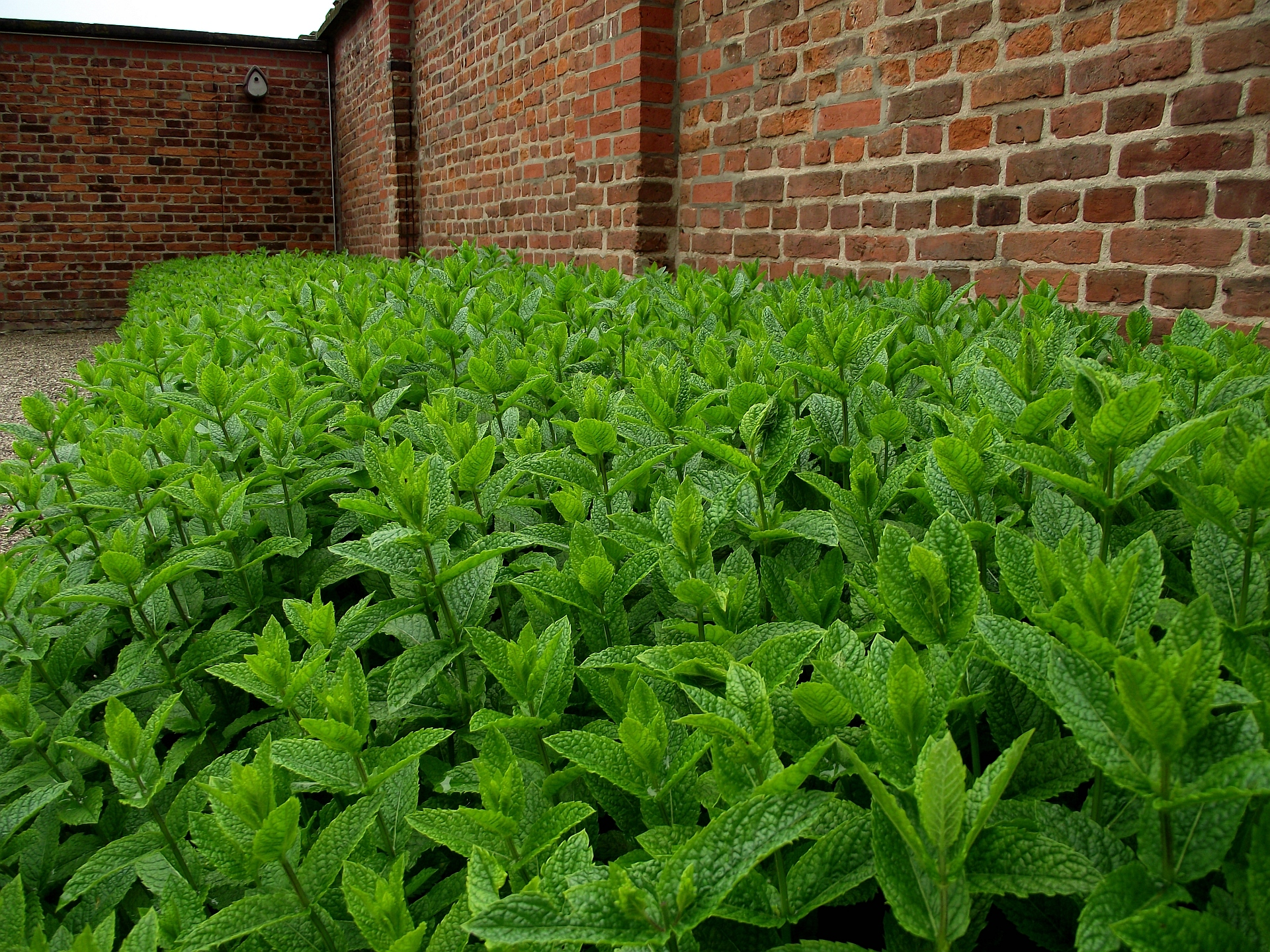 Field of Mentha x piperita 03.jpg