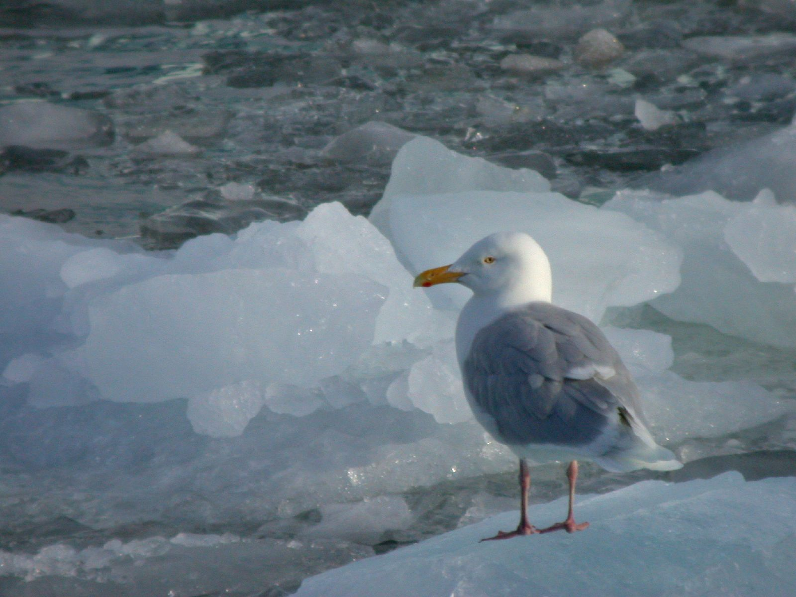 Hunting Glaucous Gull in iceland