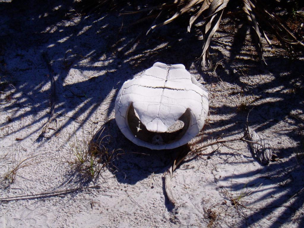 File:Gopher tortoise shell up jpg - Wikimedia Commons