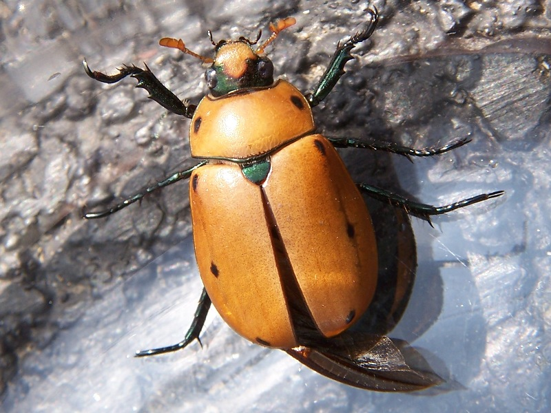 Grapevine Beetle Wikipedia